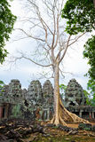 Giant tree in Siem Reap Royalty Free Stock Photos