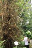 Giant tree in the Singapore Botanic Gardens. Stock Image