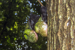 Giant Tree Snail, Acavus phoenix, Sinharaja Rain Forest National Park, Sinharaja Forest Reserve, Sri Lanka Royalty Free Stock Photography