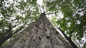 Giant tree by summer. View from bottom of powerful poplar tree with focus on bark, camera movement along tree trunk stock video