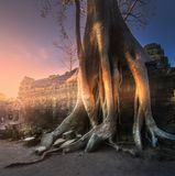 Giant tree of Ta Prohm temple in Angkor Cambodia Royalty Free Stock Images