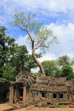 Giant tree on a Ta Prohm temple in Angkor Wat (Siem Reap, Cambodia) Stock Image