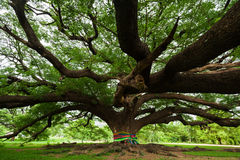 Giant Tree; Thailand Royalty Free Stock Photography