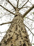Giant tree with thorny trunk isolate. Giant tree with thorny trunk (Bombax ceiba L.) isolate on white background, Clipping Path, Ant's eyes view Stock Photos