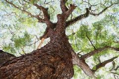 Giant tree Stock Photos