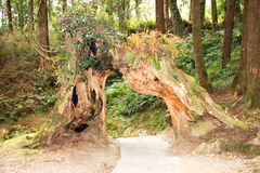 Giant tree tunnal. Walk way and giant tree tunnal in the Alishan national forest, Taiwan Stock Photo