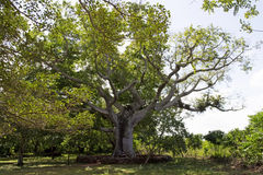 Giant tree. Very old tree with branches spreading far and wide Royalty Free Stock Photo