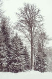 Giant tree by winter Stock Images