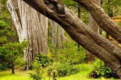 Giant trees. Abstract image of old growth trees at the edge of a formal garden Stock Photos