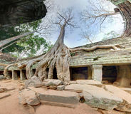 Giant trees in angkor wat. Old giant trees in angkor wat complex Royalty Free Stock Images