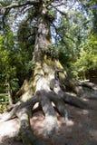 Giant trees in California Stock Photos