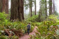 Giant trees Royalty Free Stock Photo