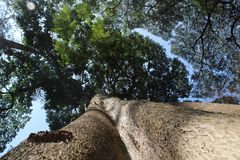 Giant trees in park. Giant trees green flora plants park green nature greenery royalty free stock images