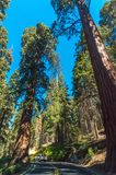 Roadpath with car in Sequoia National Park in USA California. Trees with a red bark in park. Giant trees in park with a red bark Stock Photography