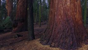 Giant trees at Sequoia National park. Close up shot on a sunny day stock video footage