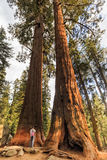 Giant trees trail at  at Sequoia Forest, California Royalty Free Stock Image