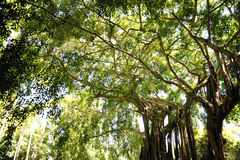 Giant Trees in Tropical Rain Forest Royalty Free Stock Photo