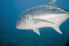 Giant trevally Stock Photo