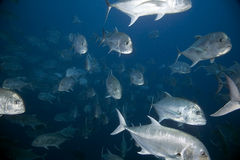 Giant trevally Royalty Free Stock Photos