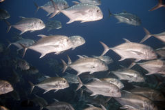 Giant trevally Stock Image