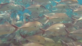 Giant trevally stock video