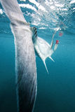 Giant Trevally Big Fish Tail Royalty Free Stock Image