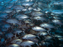 Giant trevally Stock Photos