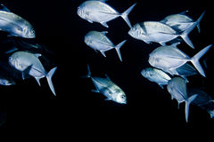 Giant trevally caranx fish Royalty Free Stock Images