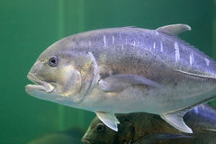 Giant trevally fish. Royalty Free Stock Photography