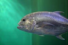 Giant trevally fish. Stock Photos