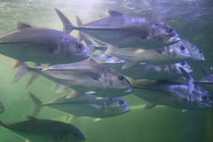 Giant trevally fish. Stock Photography