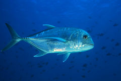 Giant trevally fish Stock Photography