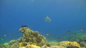 Giant trevally and fusilier stock video footage