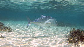 Giant trevally stock footage