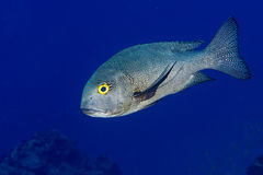 Giant trevally tuna caranx fish Stock Photos