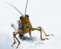 Giant tropical grasshopper Royalty Free Stock Images
