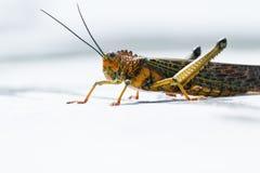 Giant tropical grasshopper Stock Photos