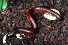 Giant Tropical Millipedes Worm Stock Photos