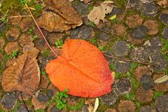 Giant tropical orange leave fallen on soil Royalty Free Stock Photos