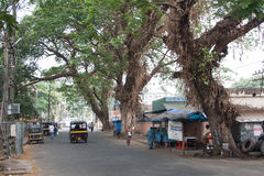 Giant tropical trees. Road in the city of Kochi (Cochin), Kerala, India Stock Photo