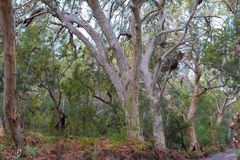 Huge eucalyptus trees in jungle forest Fraser Island, Australia royalty free stock image