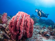 Giant tube sponge and diver. On a coral reef at Bunaken, Indonesia Royalty Free Stock Images