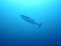 Giant tuna fish in maldives Stock Image
