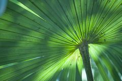 Giant turquoise palm leaves with natural light and freshness stock image