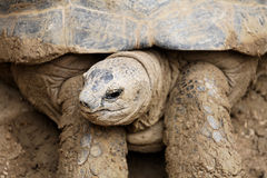 Giant turtle. Close-up royalty free stock photo