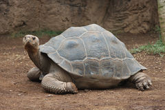 Giant turtle Stock Photo