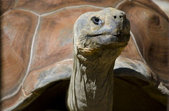 Giant turtle. The ancient face of a giant turtle posing for the camera on a sunny day Royalty Free Stock Image