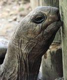Giant Turtle. Headshot of giant turtle, closeup detail stock photography