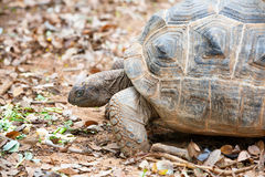 Giant Turtle Royalty Free Stock Images