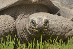 Giant turtle. One of the largest turtles in the world Stock Photography